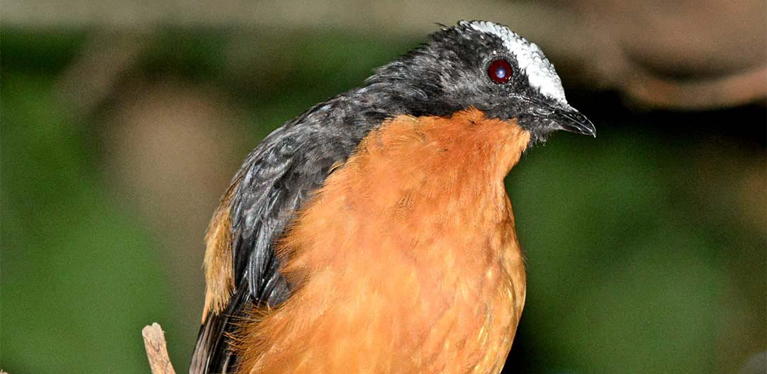 White Crowned Robin-chat
