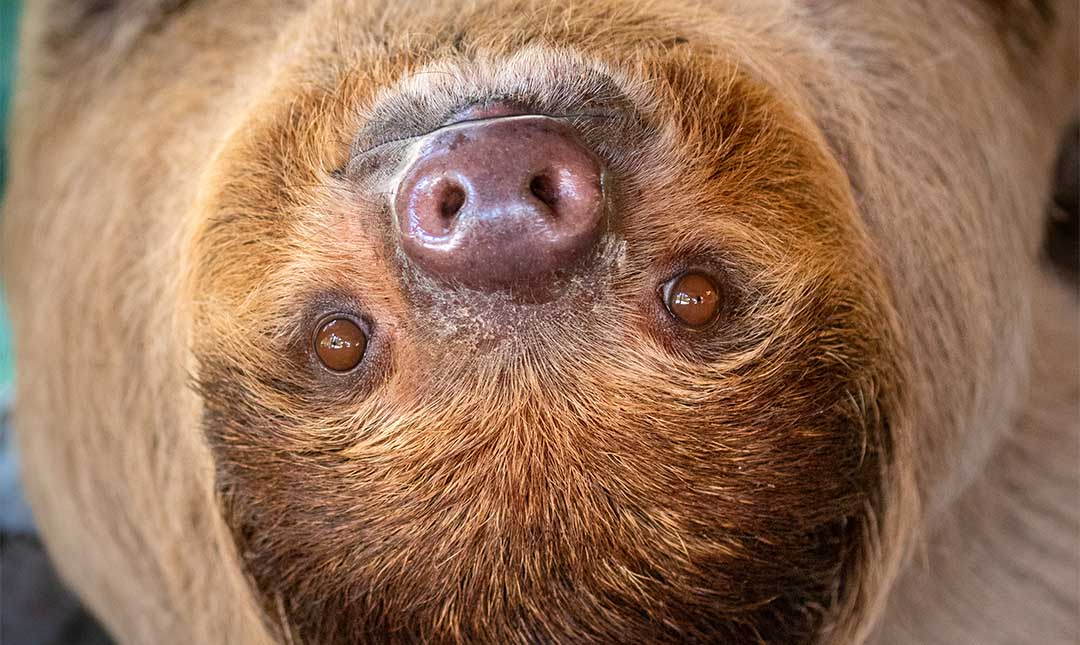 Linné's two-toed sloth