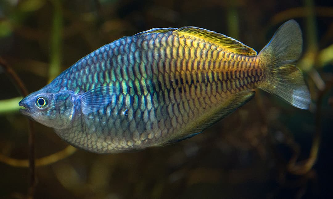 Australian Rainbowfish