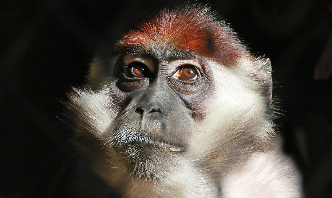 Red-Capped Mangabey