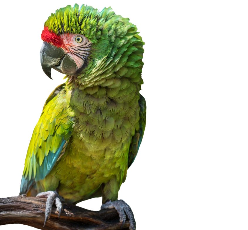 Perched macaw