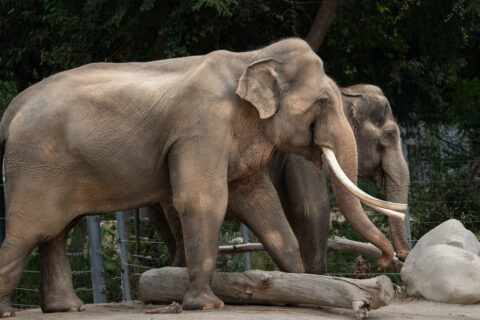 Elephants of Asia Update: L.A. Zoo Asian Elephants Can Now Share Same Physical Space