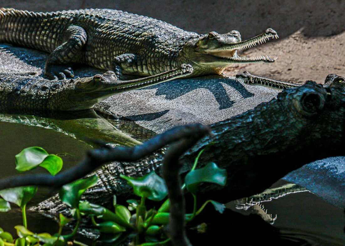 Group of Indian gharials