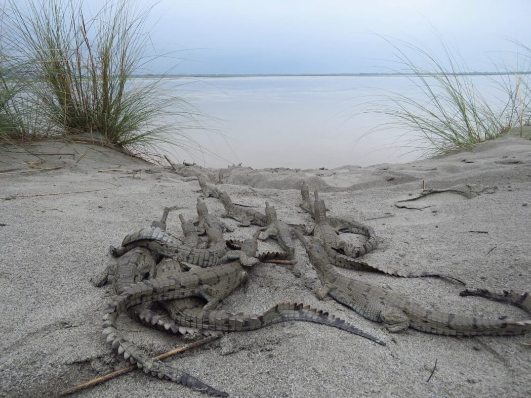 Gharial hatchlings moving into river