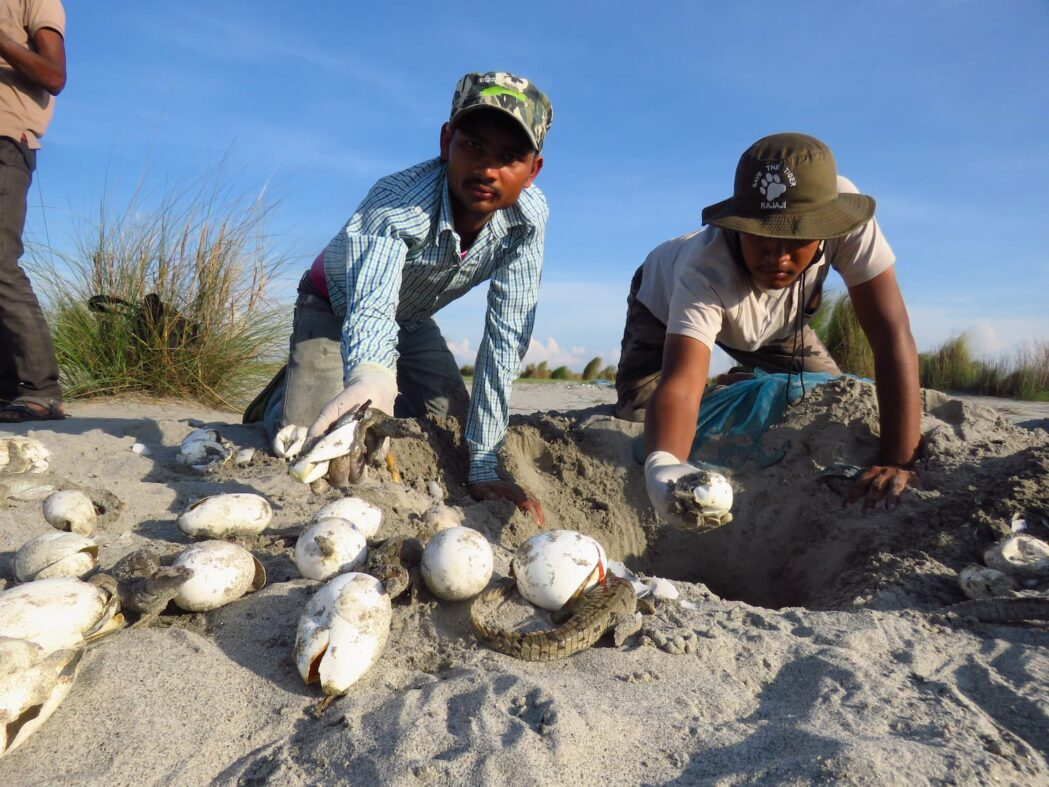 Nest Watcher and Biologist taking out the hatched gharial eggs from nest