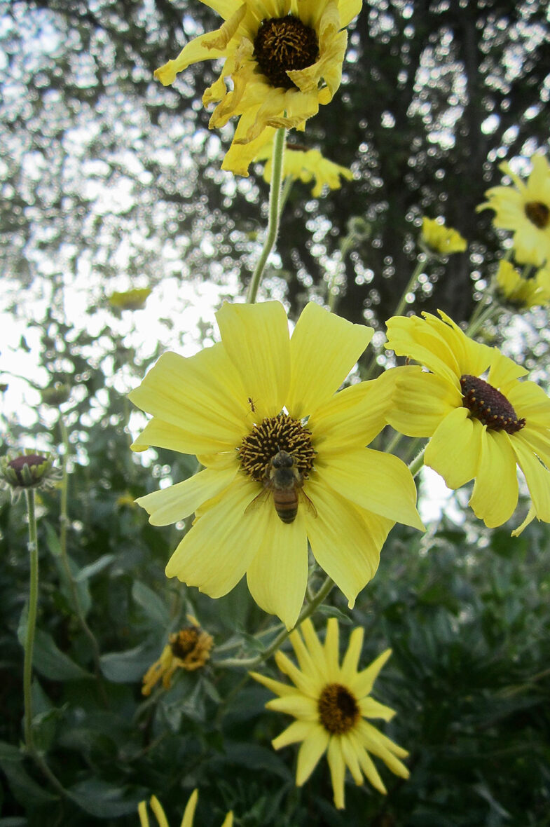California sunflower (Helianthus californicus) with bee in its center