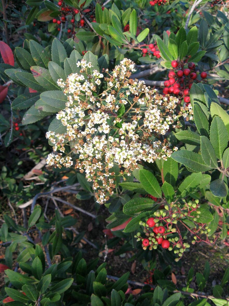 Toyon with its white flowers and red berries