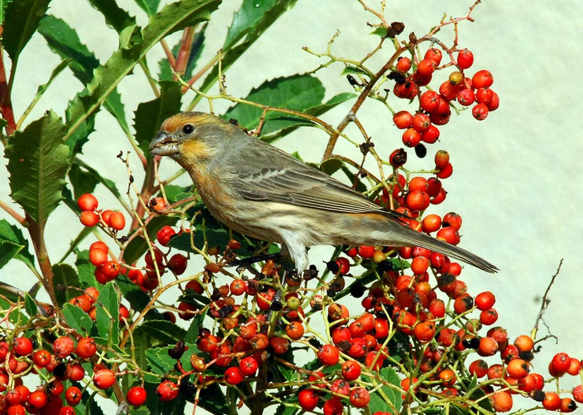 House finch perched on toyon