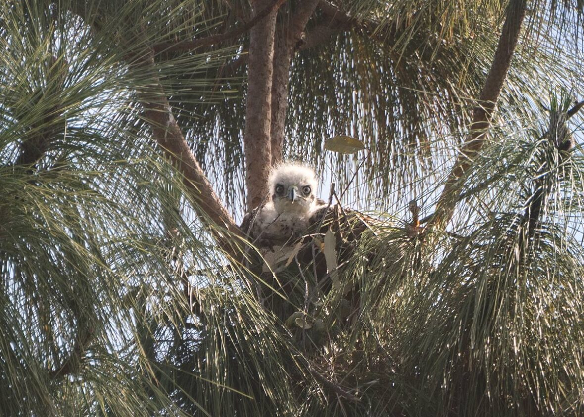 Red-tailed-hawk nestling in a tree