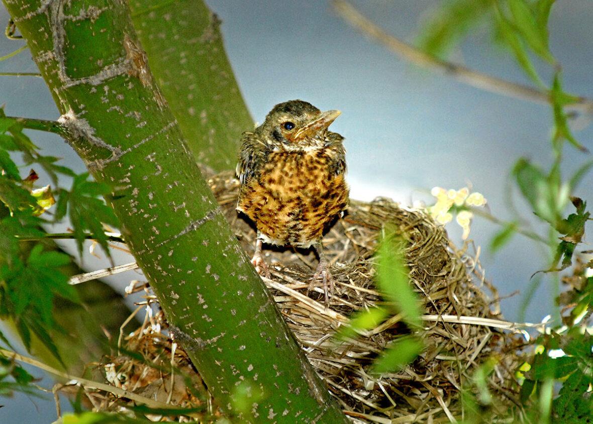 Young American robin in nest