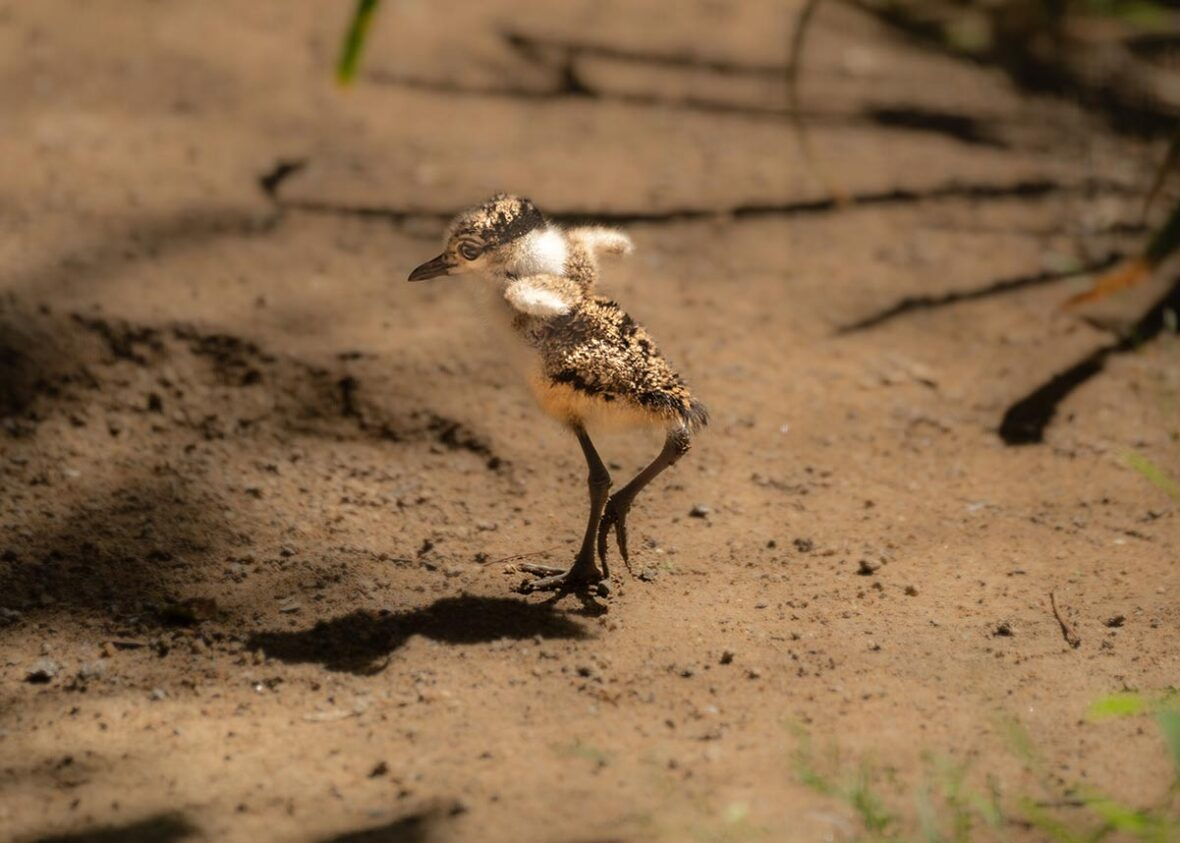 Spur Wing Lapwing Chick