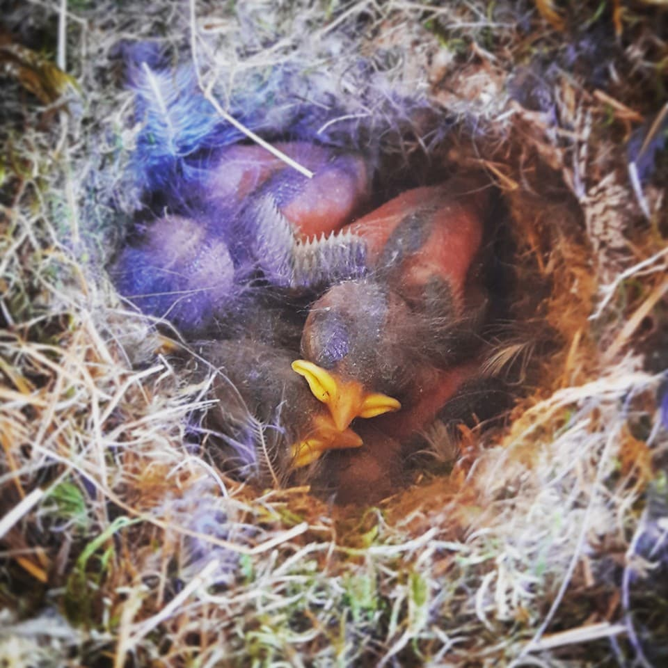 A crested tit in its nest