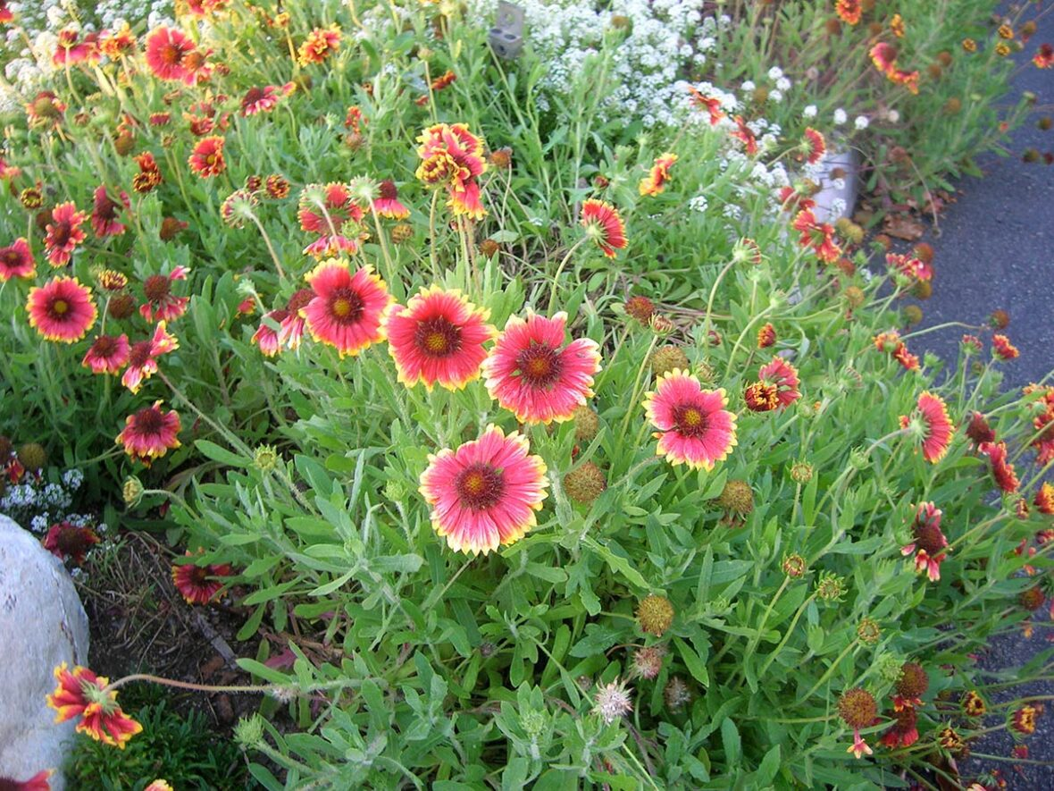 Gaillardia in colorful red and pink with yellow petal tips