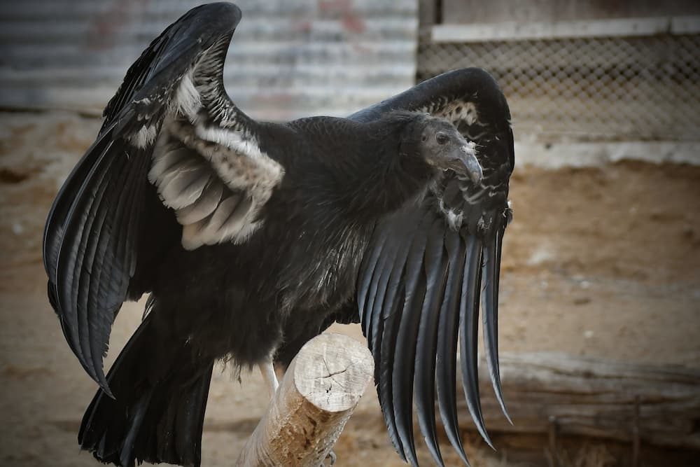 California condor with wings open on perch
