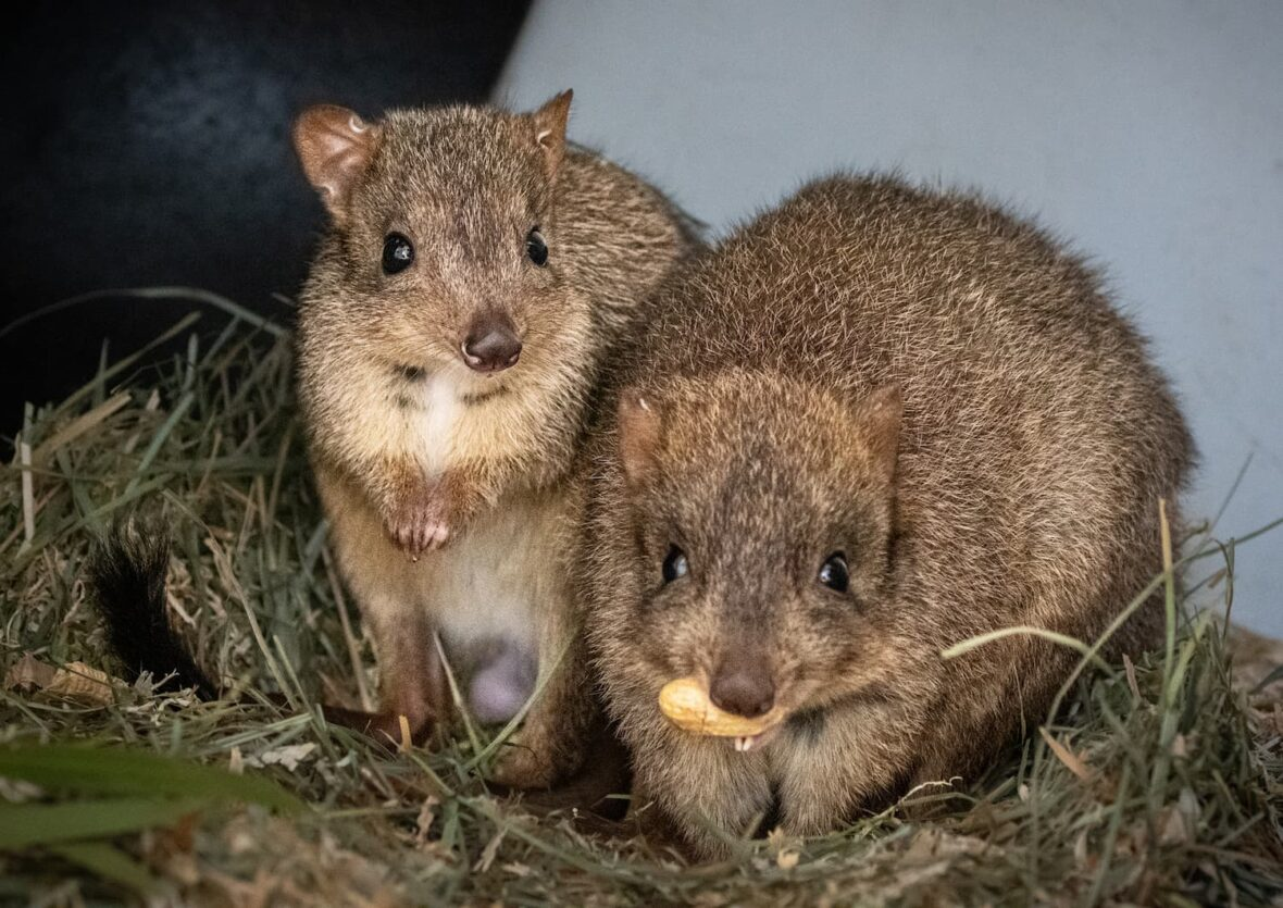 Two bettongs on grass, one with a nut in its mouth.