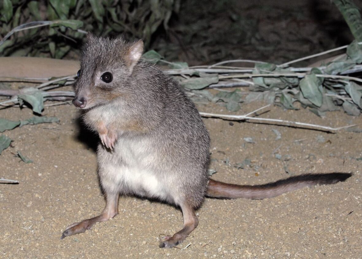 Bettong standing on its hind legs.