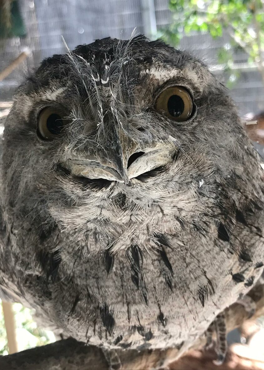 Tawny frogmouth Maynard with big eyes and gray feathers