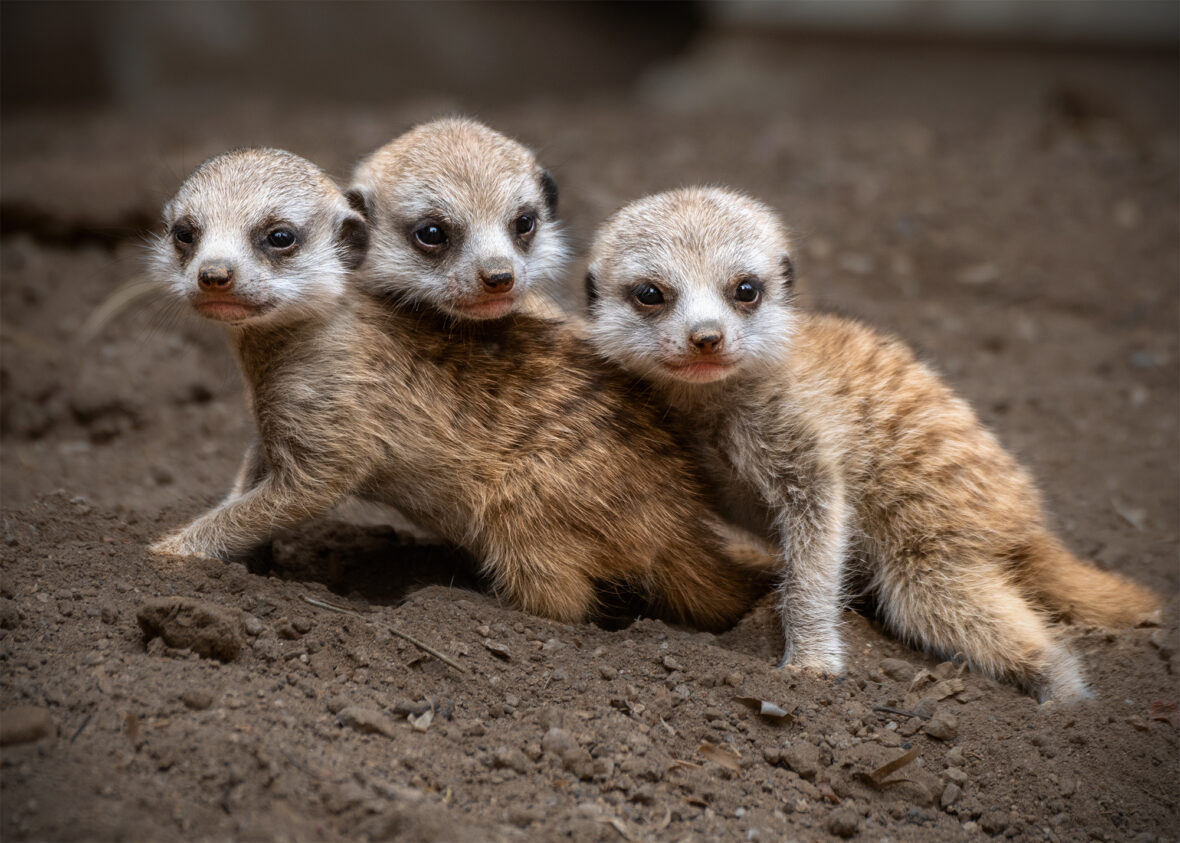 Three young meerkats sitting next to each other.