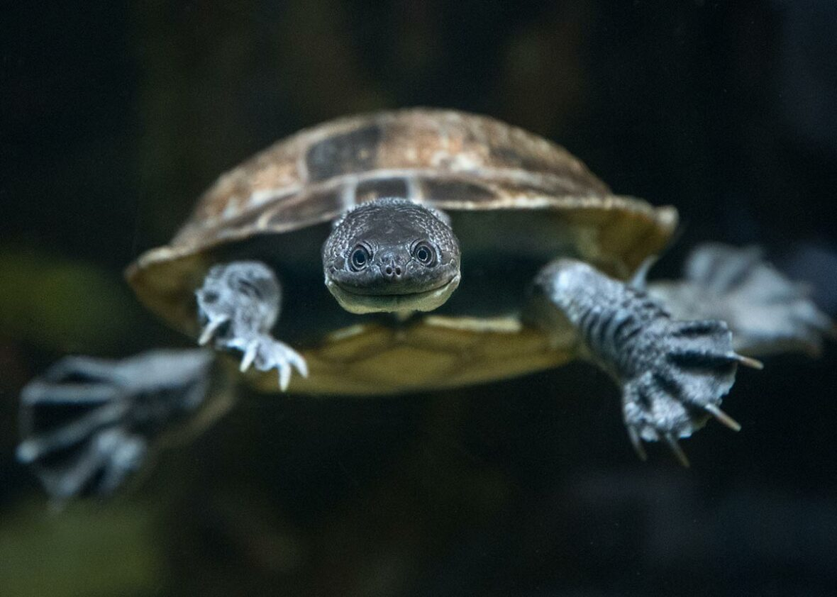 Roti Island snake-necked turtle facing forward and swimming towards the camera
